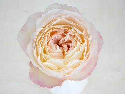 Grossiste en Fleurs Parfum Flower Company